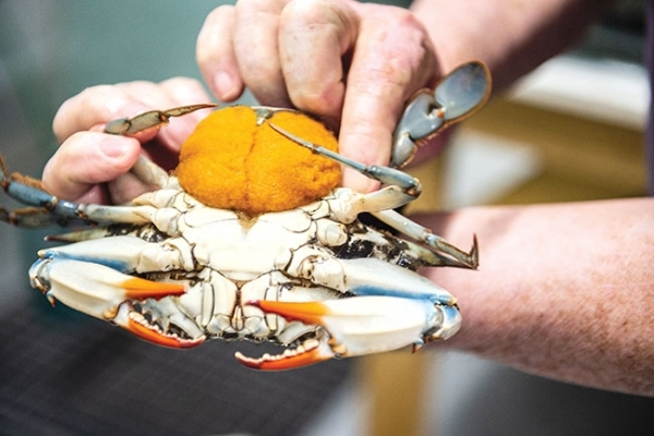 Research project showing potential for farming Blue crab